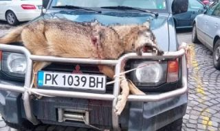 Шофьор обиколи Перник с убит вълк, вързан на предния капак
