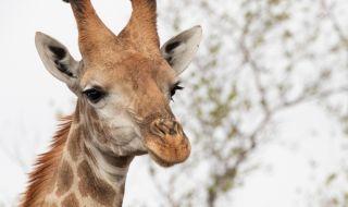 Евтаназираха жираф, превърнал се в интернет сензация (ВИДЕО) - 1