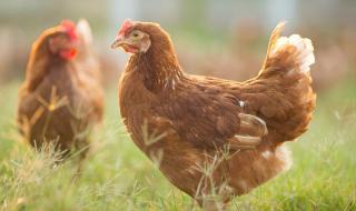 Птичи грип хвърли Европа в паника