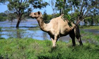 Австралия обяви война на... камили