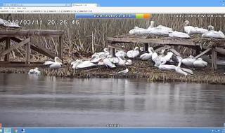 """Първи новоизлюпени пеликани в """"Сребърна"""""""