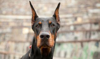 Най-добрите породи кучета за пазачи - 1