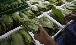 Тайланд легализира известен местен наркотик - 1