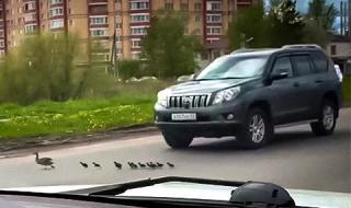 Цяла Русия настръхна срещу шофьор, прегазил патета (ВИДЕО)