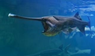 Избихме до перка най-голямата сладководна риба в света (ВИДЕО)