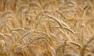 Песимизъм за зърнената реколта в Ямболско