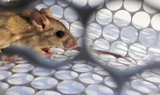 Нова зараза: Китаец почина от хантавирус