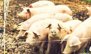 Умъртвяват 24 000 прасета в Никола Козлево