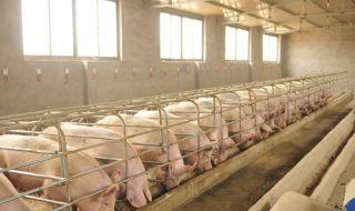 2 г. след чумата: Производството на свинско не е възстановено напълно