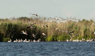 """100 къдроглави пеликани се излюпиха в """"Сребърна"""""""