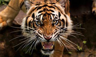 Избягал тигър тероризира жителите на цял град