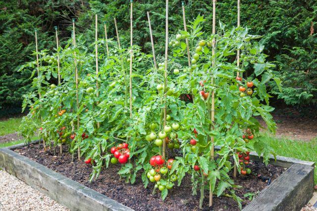 Ето кaкво никога не трябва да засаждаме до доматите