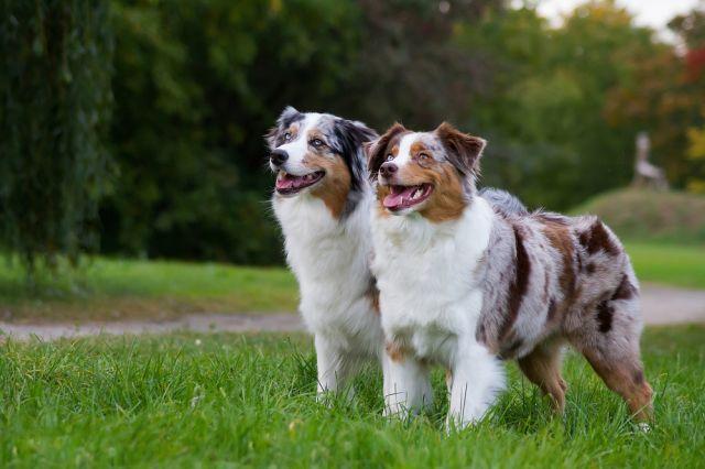Най-добрите породи кучета за пазачи
