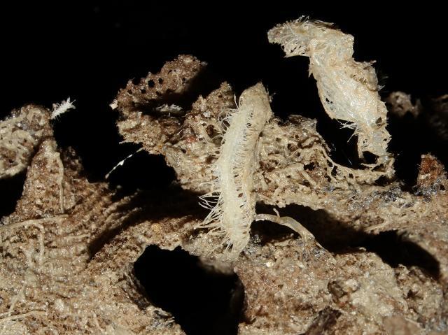Откриха месоядни гъби дълбоко в океана (СНИМКИ)