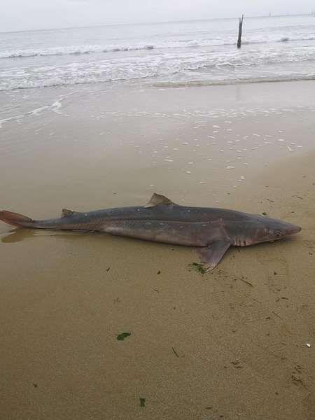 Черно море изхвърли мъртва акула край Варна (СНИМКИ)