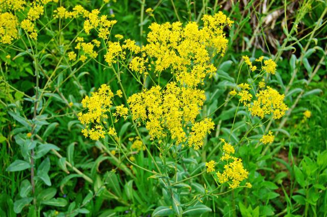 Това растение може да ви защити от коронавируса