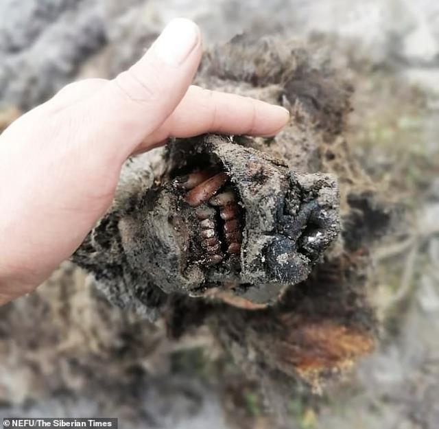 Откриха отлично запазен труп на мечка от Ледената епоха (СНИМКИ)