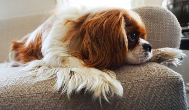 Любимите кучета на аристократите
