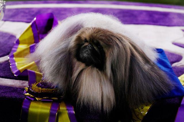 Това куче спечели голямата награда на Уестминстърското киноложко изложение