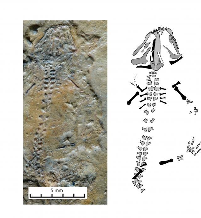 Откриха саламандър на 230 млн. години