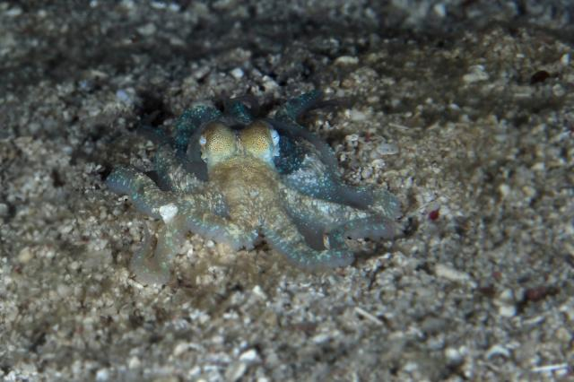 """Заснеха октопод да """"ходи"""" по сушата (ВИДЕО)"""