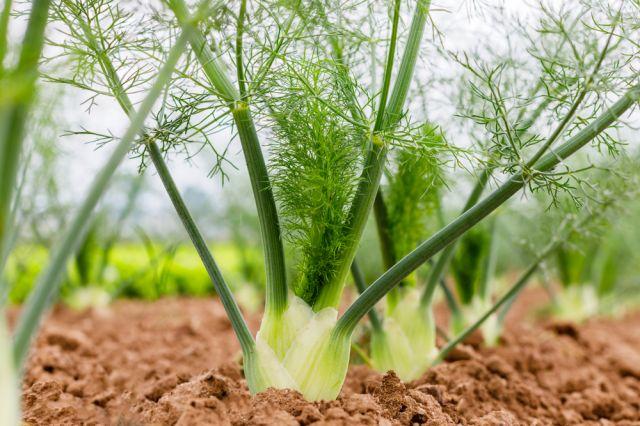 Консумацията на този зеленчук удължава живота