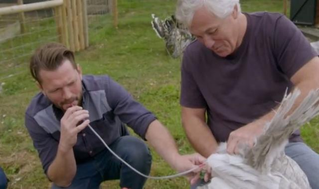 Насилствено оплождане на пуйки в ефир възмути зрителите на риалити шоу