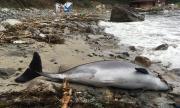 Трупове на бебета делфини осеяха Южното Черноморие