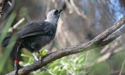 След 20 години спасиха от изчезване птицата кокако