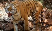 Тигър в Ню Йорк даде положителна проба за коронавирус
