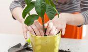 Как да пресадите цвете, без да го убиете