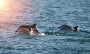 Ето колко са делфините в Черно море