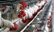 БАБХ умъртвява 174 хил. птици в Асеновград