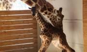 Раждането на жираф счупи рекорди