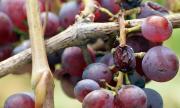1 млн. лв. за производителите на грозде