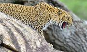 Индийка пребори разярен леопард с голи ръце