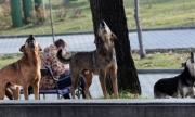 Глутница бездомни кучета тероризира столичен квартал (ВИДЕО)