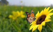 Рекорден спад в броя на пеперудите във Великобритания