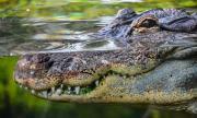 Крокодил разкъса непредпазлив плувец