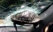 Костенурка едва не обезглави пътник в кола