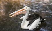 Цигани ядат пеликани и лебеди край Бургас