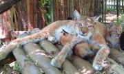 Рисчета от застрашен вид се родиха в Софийския зоопарк (ВИДЕО)