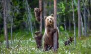 Три мечки обикалят търновски села