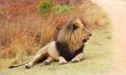 Шок и ужас! Стадо лъвове избяга от резерват