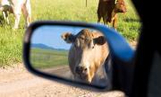 Кравите и свинете влияели повече на глобалното затопляне от автомобилите