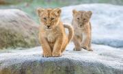 Зоопаркът в Рим показа двете лъвчета, родени по време на изолацията (ВИДЕО)