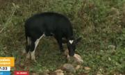 Безпризорни бикове в София се оказаха неуловими