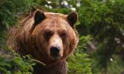В Смолянско отстреляха мечка, нападала кошери