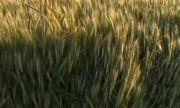 Поройните дъждове застрашават житната реколта в Русенско
