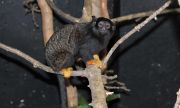 Софийският зоопарк получи златоръки тамарини